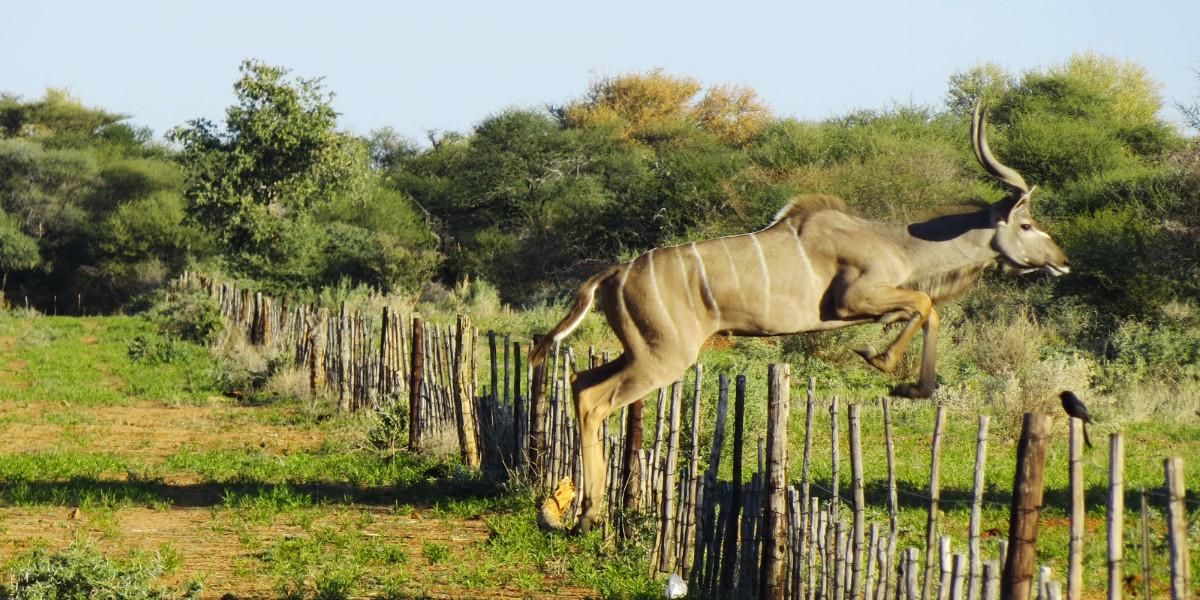 Kudu auf der Farm Hazeldene in Namibia